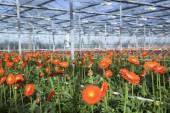 Many orange flowers in dutch greenhouse — Foto de Stock