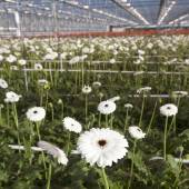 Many white flowers in dutch greenhouse — Foto Stock