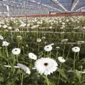 Many white flowers in dutch greenhouse — Foto de Stock