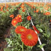 Orange gerbera flowers in greenhouse — Stock Photo