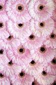 Flower heads of pink gerbera — Foto Stock