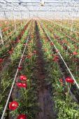 Red gerbera flowers in dutch greenhouse — Foto Stock