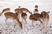 Female fallow deer and young animals in winter time — Stockfoto