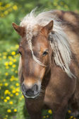 Small brown pony with pigtails in spring meadow — Stock Photo