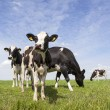 Black and white cows in meadow in the netherlands with blue sky — Stock Photo #74060115