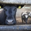 Young black cow in stable with other cows in the background — Stock Photo #75196375