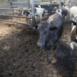 Young black and white cows in half open stable — Stock Photo #75196459