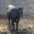 Young black cow in stable with fresh straw — Stock Photo #75196463