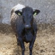 Young black cow in stable with fresh straw — Stock Photo #75196527