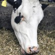 White head of cow in stable — Stock Photo #75196605