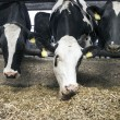 Three black and white cows eating in stable — Stock Photo #75196665