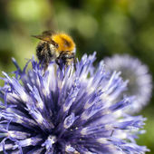 Closeup of bumble bee on purple thistle — Stock Photo