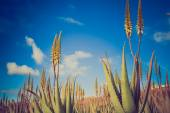Aloe vera plantation in the Canary Islands — Stock Photo