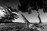 Old pine trees, black and white photo — Stock Photo