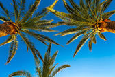 Three branches of palm trees against the sky — Stock Photo