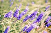 Bluebells flower (Grape Hyacinth, Muscari armeniacum) — Stock Photo