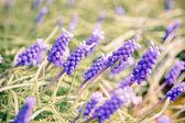 Bluebells flower (Grape Hyacinth, Muscari armeniacum) — Stock Photo