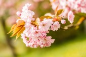Cherry blossoms — Foto de Stock