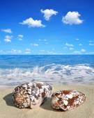 Conch shells — Stock Photo