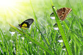Dew and butterflies — Stock Photo