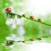 Dew and ladybirds — Stock Photo