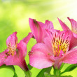 Alstroemeria pink flowers — Stock Photo #53895981