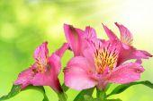 Alstroemeria pink flowers — Stock Photo