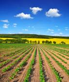 Freshly sown sunflower field — Stock Photo
