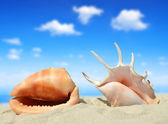 Conch shells — Stock Photo