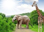 Giraffe and elephant — Stock Photo