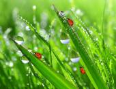 Dew drops and ladybug — Stock Photo