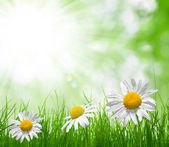 Fresh green grass with daisies — Stock Photo