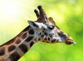 Portret żyrafa — Zdjęcie stockowe