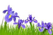 Flores de íris — Foto Stock