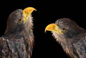 Sea eagles — Stock Photo