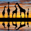 Herd of giraffes — Stock Photo #56600283