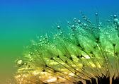 Dewy dandelion — Stock Photo