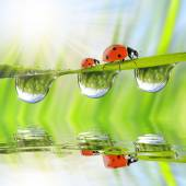 Fresh green grass with dew drops and ladybugs — Stock Photo