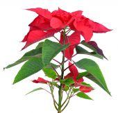 Poinsettia plant for Christmas — Stock Photo