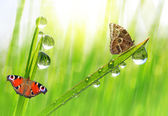 Dew drops and butterflies — Stock Photo