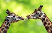 Portrait of a kissing giraffes — Stock Photo