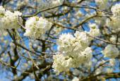 Spring blossoms cherry tree — Stock Photo