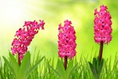 Hyacinth with dewy grass — Stock Photo