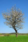 Blooming tree — Stock Photo