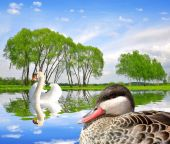 Spring landscape with swan and duck — Stock Photo