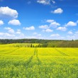 Rapeseed field — Stock Photo #67845671