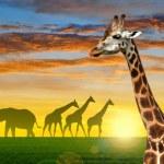 Herd of giraffes — Stock Photo #70405541