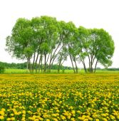 Trees on dandelion field — Stock Photo