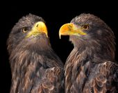 Sea Eagles — Stock fotografie
