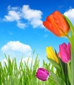 Purple, yellow and red tulip — Stock Photo
